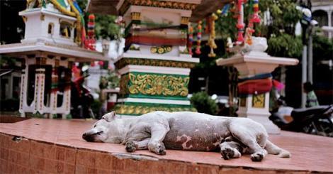 » 방콕 거리에서 흔히 볼 수 있는 작은 불교 '신전' 앞에서 개가 잠을 자고 있다. 살생을 금한 불교가 삶의 전반에 파고든 타이에서는 개나 동물에 대한 거부감이 덜하다는 분석도 나온다. 그럼에도 연간 20만 마리의 개가 온갖 학대 속에 베트남 시장으로 불법 밀수출되거나, 통계가 뒷받침하는 '보호받지 못한' 개의 삶이 또 다른 모습으로 존재한다. (Photo © Lee Yu Kyung)